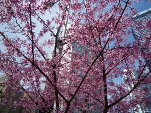 新宿京王プラザホテル裏の桜